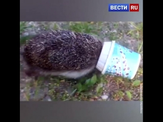 В Калининградской области спасли ежа