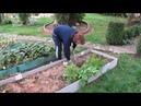 Картошка Посадили в июле копаем в октябре УРОЖАЙ