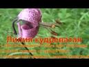Лилия кудреватая Саранка Царские кудри Лилия Лесная для Выживания в тайге можно есть луковицы