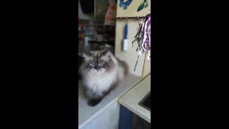 Невский маскарадный кот Зиберт Данвел 7 5 лет