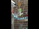 Корелла-зайчик кушает капустку