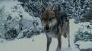 Клип про волков / wolves / მგლები