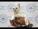 Презентация питомника шотландских кошек PCA КОШКИНА РАДОСТЬ