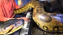 GIANT ANACONDA Wraps around Grand Piano, Listens to Music!
