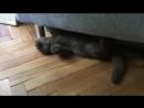 Британский котенок играет с ребенком Plush Blue Ray