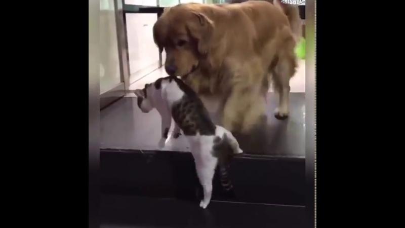길거리에서 싸움붙은 고양이 뜯어 말리는 천사견 골든 리트리버 ㅋㅋㅋㅋ12619