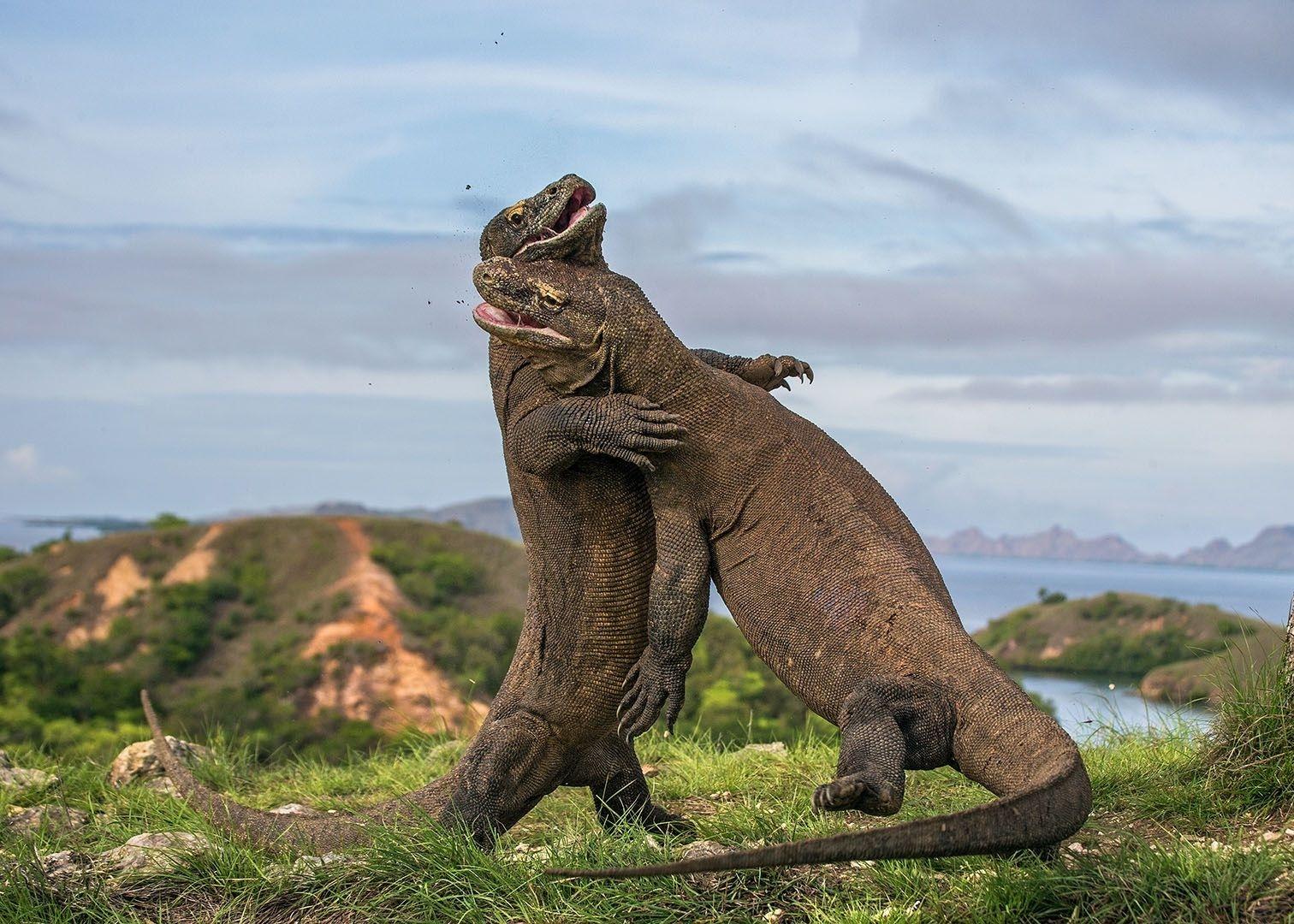Комодский дракон, что заставляет местных рыдать от страха