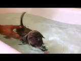 A tiny pit bull puppy learns to swim in a bathtub, and it s the most adorable thing you ll ever see!.mp4