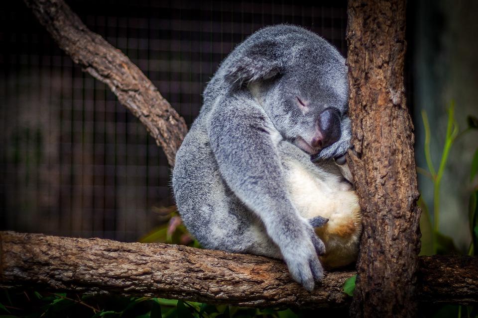 Сон на дереве у коал