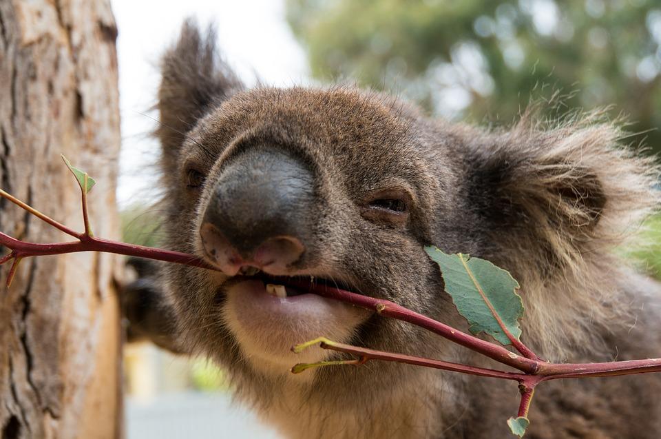Строение зубов коала