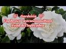 Gardenia ❤ Гардения жасминовидная ❤ Уход Пересадка