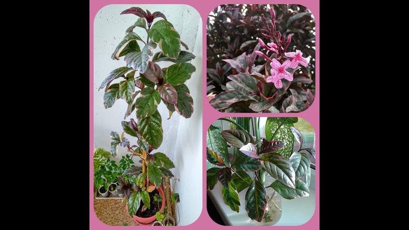 ✅❦ Псевдоэрантемум тёмно-багряный ❦Общий обзор по уходу за растением