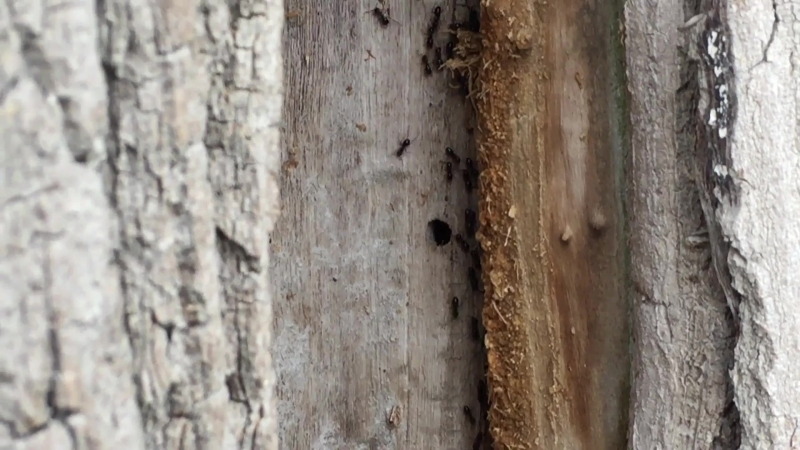 Lasius fuliginosus - Пахучий муравей-древоточец.