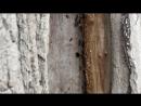 Lasius fuliginosus Пахучий муравей древоточец
