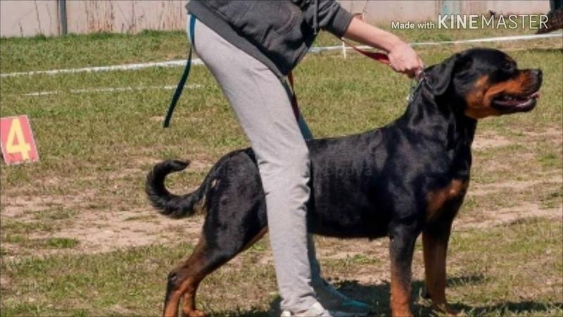 Ivie Top Black Best rottweiler South Russia Winner Show Иви Топ Блек Лучший ротвейлер Юга России