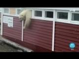 Винни-пух №2: белый медведь в Норвегии объелся шоколада и застрял в окне
