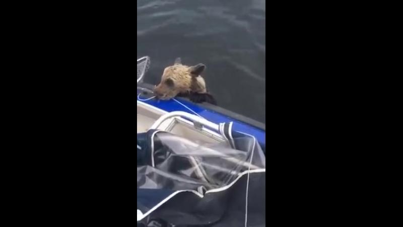 медвежонок устал плыть и залез к рыбакам в лодку
