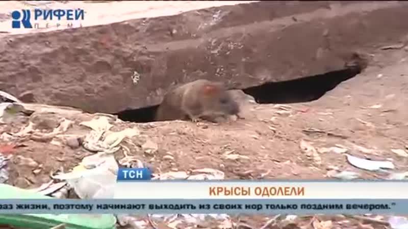 Жители Перми жалуются на масштабное нашествие крыс