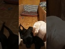 щенки лабрадора-ретривера. видео