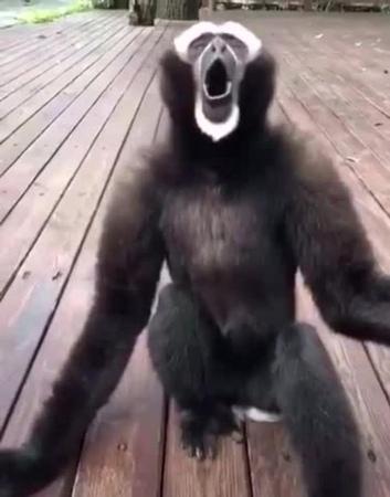 Gibbon-trombone · coub, коуб