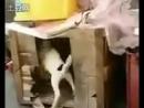 Пёс насилует курицу