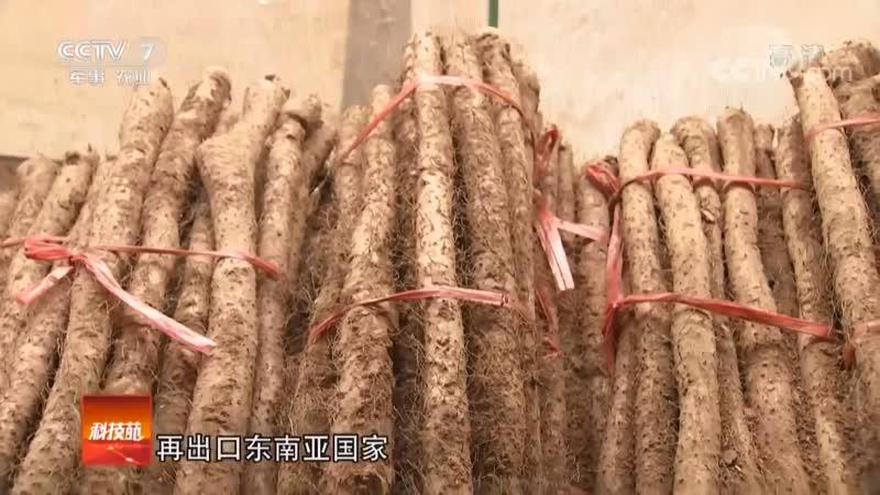 Ямс китайский или 'железный батат' корневище диоскореи китайской ШаньЯо горное лекарство это пища ЯоШи содержаща