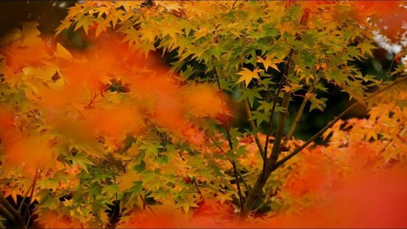 4K 2018年11月13日 仁和寺 紅葉 Ninna ji Autumn leaves Kyoto Japan