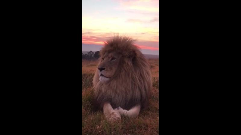 Величественный царь зверей