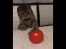 котик хочет сесьть помидор