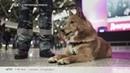 Бизнес-новость. Аэрофлот представил новую породную группу служебных собак Шалайка