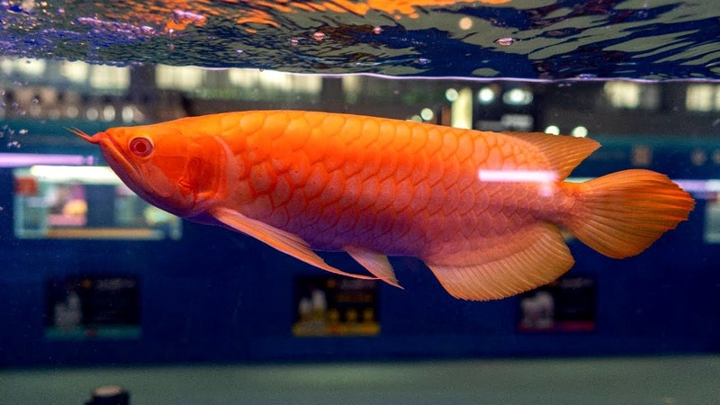 Arowana Fish World Championship CIPS 2018 - Aquarium Co-Op