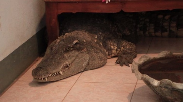 53-летний Канатип Натип из города Пхитсанулок, Таиланд, не запирает дверь, уходя из дома, поскольку местные в курсе, что у него в доме вот уже 20 лет живет крокодил по кличке Золотце, который свободно передвигается по комнатам. А вот неместных воришек ожи