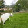 Cow play around