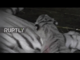 WATCH_ Rare White Tiger adoring her cub in Yalta zoo