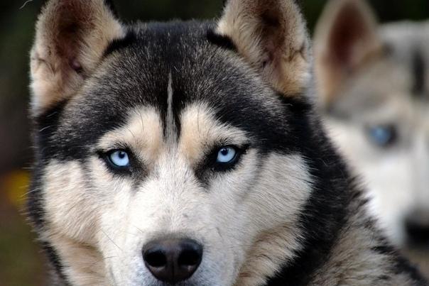 Разница между лайкой и хаски Собака не только друг человека. Это еще и просто красивое животное со своими повадками и особенностями характера. К примеру, лайки или хаски могут служить в качестве