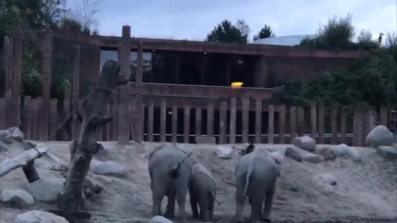 слоны выгоняют из своего вольера забравшегося туда посетителя зоопарка