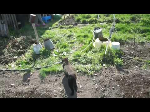 Котики Амебного Анацефала (в деревне)