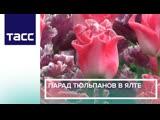 Парад тюльпанов в Ялте