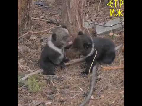 В Этнографическом музее Бурятии появились двое бурых медвежат