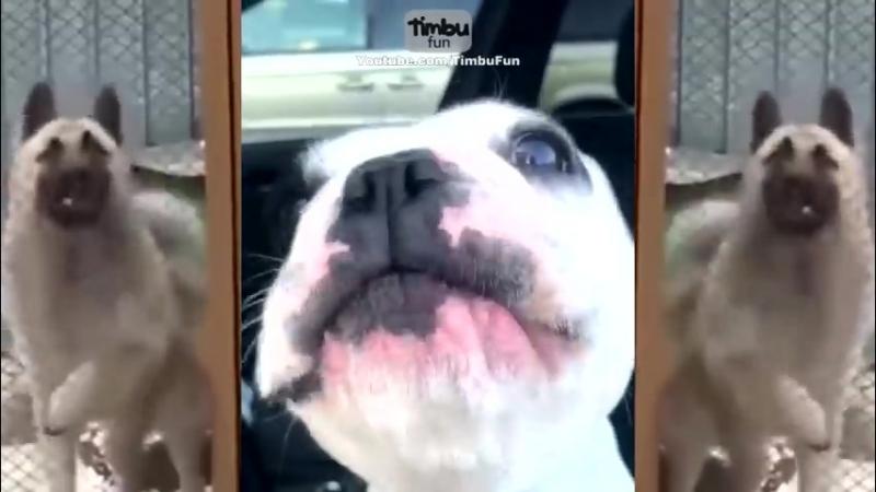 DogSong Когда пёс поёт лучше, чем ты: