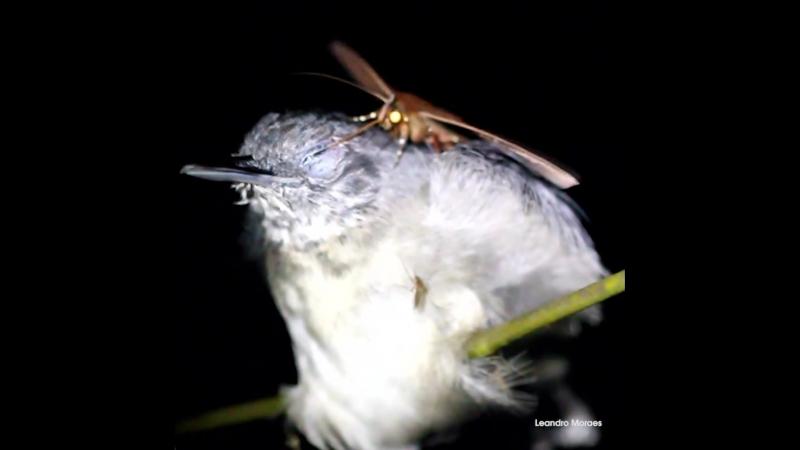 Мотылёк из дождевых лесов Амазонии питающийся слезами