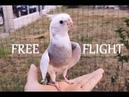How I train my cockatiel to free fly