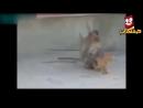 تحدى قرود vs قطط وكلاب اضحك من قلبك على القرود المجنونة والقطط والكلاب mp4