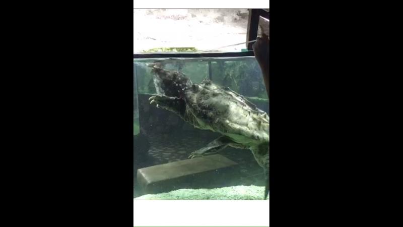 Грифовая черепаха Виктор, 42 года.