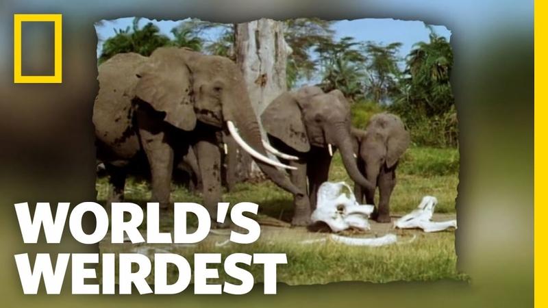 Elephants in Mourning | World's Weirdest