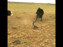 Cows trying to scare Canada goose