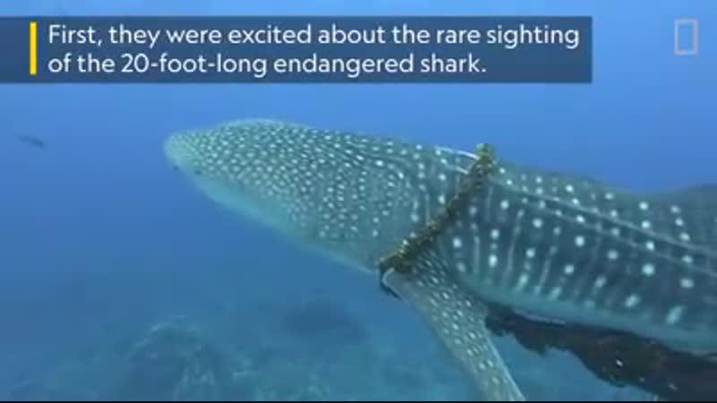 Спасение китовой акулы