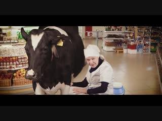 Сибирское молоко настолько свежее, что...