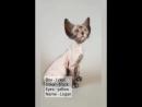 Котенок редкой породы Ликой Logan