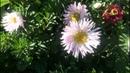 Астра однолетняя - символ осени! Что нужно, чтобы астра обильно цвела..